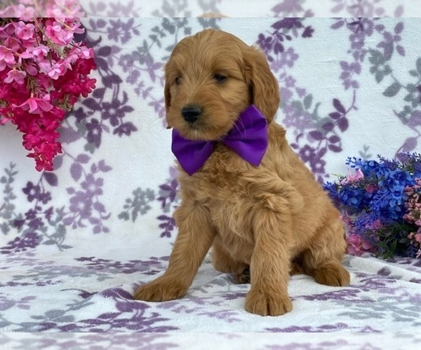 Medium Photo #3 Goldendoodle Puppy For Sale in LANCASTER, PA, USA