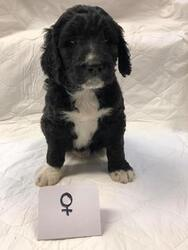 Bernedoodle Puppy For Sale in MORTON, WA, USA