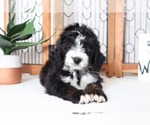 Greg Adorable TriColored Male CKC Bernedoodle