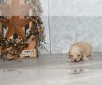 Puppy 8 Labradoodle-Poodle (Miniature) Mix