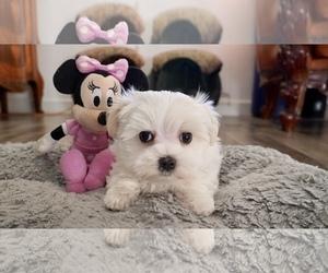 Maltese Dog for Adoption in LOS ANGELES, California USA