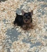 Yorkshire Terrier Puppy For Sale in CARROLLTON, GA, USA