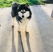 Alaskan Malamute Dog For Adoption in ELK GROVE, CA, USA