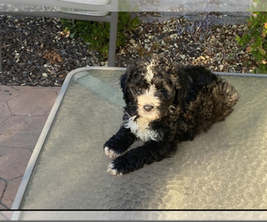 Sheepadoodle Puppy for sale in OAKLAND, CA, USA