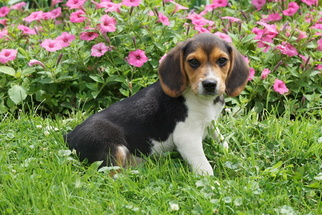 Beagle Puppy for sale in FREDERICKSBURG, OH, USA