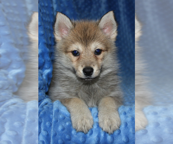 Medium Photo #7 Pomsky Puppy For Sale in DENTON, TX, USA