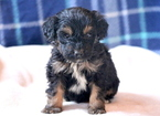 Aussie-Poo Puppy For Sale in MOUNT JOY, PA, USA