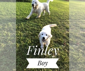 English Cream Golden Retriever Puppy for Sale in SILOAM SPGS, Arkansas USA