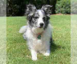 Border Collie Dogs for adoption in DULUTH, GA, USA