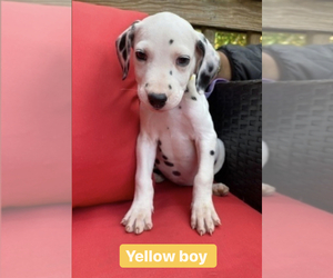 Dalmatian Puppy for Sale in NEW MILFORD, Connecticut USA
