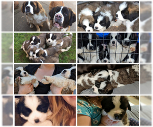 Saint Bernard Puppy for sale in BRUSH PRAIRIE, WA, USA