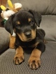 Rottweiler Puppy For Sale in AURORA, CO, USA