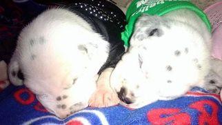 Dalmatian Puppy For Sale in CALUMET CITY, IL, USA
