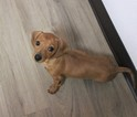 Dachshund Puppy For Sale in MURRIETA, CA, USA