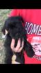 Schnauzer (Miniature) Puppy For Sale in KATY, TX,