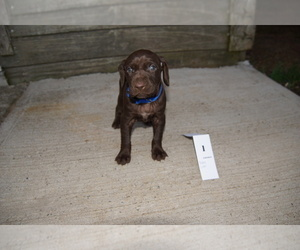 German Shorthaired Pointer Puppy for Sale in SCIO, Ohio USA