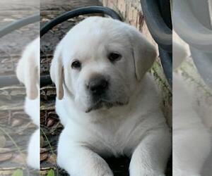 Labrador Retriever Puppy for sale in OPELOUSAS, LA, USA