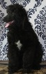 AKC Standard Male Poodle puppy for sale