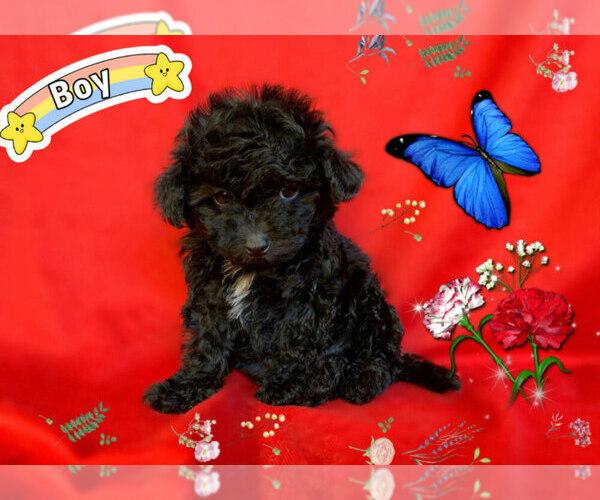 Medium Photo #5 Maltese-Maltipoo Mix Puppy For Sale in SAN FRANCISCO, CA, USA