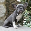 French Bulldog Puppy For Sale in MIDDLEBURG, FL,