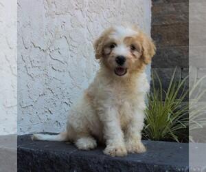 Goldendoodle-Poodle (Miniature) Mix Dog for Adoption in HONEY BROOK, Pennsylvania USA