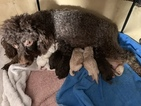 Poodle (Miniature) Puppy For Sale in ROCKVILLE, MD, USA