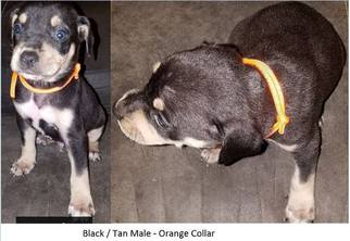 Catahoula Leopard Dog Puppy For Sale in HUNTINGTON, TX