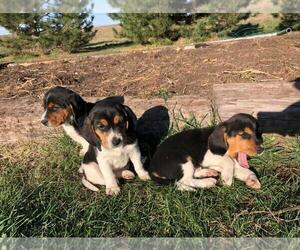 Beagle Puppy for sale in DURHAM, KS, USA