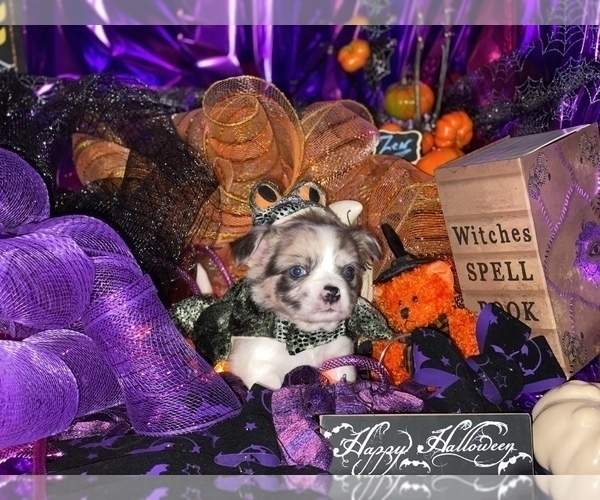 Medium Photo #22 Bullhuahua-Chihuahua Mix Puppy For Sale in RAWSONVILLE, MI, USA