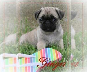 Pug Puppy for sale in BULLTOWN, PA, USA