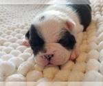 Small #5 Faux Frenchbo Bulldog