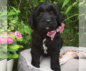 Goldendoodle Puppy for Sale in LEBANON, Missouri USA