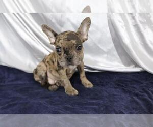 French Bulldog Puppy for sale in RANCHO SANTA FE, CA, USA