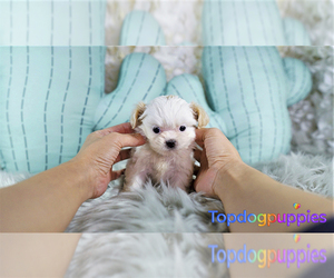 Shih-Poo Puppy for sale in FULLERTON, CA, USA