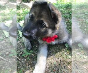 German Shepherd Dog Puppy for sale in HALIFAX, VA, USA