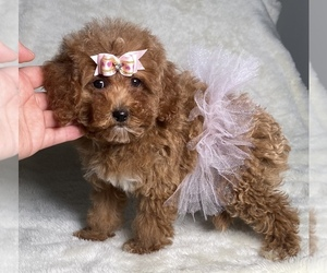 Poodle (Toy) Puppy for sale in ROSEMEAD, CA, USA