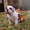 Bulldog Puppy For Sale in ROCKWALL, TX