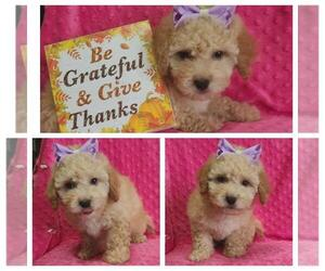 Maltipoo-Poodle (Miniature) Mix Puppy for Sale in TAYLOR, Texas USA