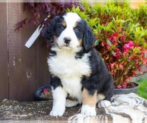 Bernese Mountain Dog Puppy for sale in EDEN, PA, USA