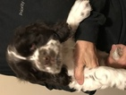 Cocker Spaniel Puppy For Sale in SAINT HENRY, OH,