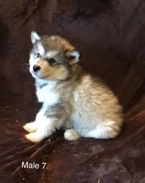 Alaskan Malamute puppy