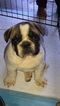 French Bulldog Puppy For Sale in RIVERSIDE, California,