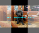Small #11 Labrador Retriever