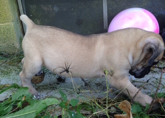 Cane Corso Puppy For Sale in SEYMOUR, MO