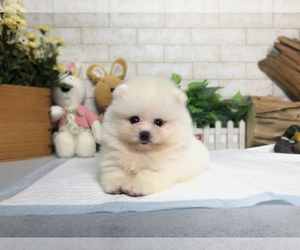 Pomeranian Puppy for sale in LOS ANGELES, CA, USA
