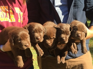 Labrador Retriever Puppy For Sale in DOSWELL, VA