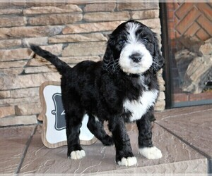 Sheepadoodle Puppy For Sale near 22851, Stanley, VA, USA
