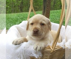 Labrador Retriever Puppy for sale in CLEARVILLE, PA, USA