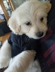 Australian Labradoodle Puppy For Sale in CELINA, TX