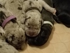 Great Dane Puppy For Sale in MARKESAN, Wisconsin,
